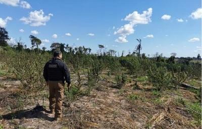 Senad destruye 9 toneladas de marihuana, cuyo valor estimado de mercado es de 270 mil dólares