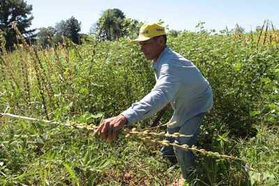 Senave establece el límite máximo de residuos para el cultivo de sésamo