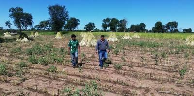 Destacan buena producción de sésamo en comunidad indígena