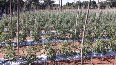 Productor consolida exitoso proyecto de siembra de locote y tomate con apoyo del CAH