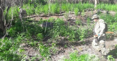 La Nación / Itapúa: destruyen 24 toneladas de marihuana durante incursión rural
