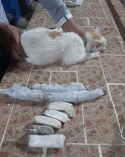 En Panamá detuvieron a un gato que transportaba cocaína, crack y marihuana – Prensa 5