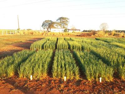 Respuesta de variedades de trigo a enfermedades de importancia agronómica