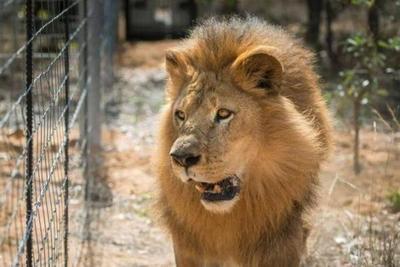Sudáfrica prohibirá la cría de leones en cautiverio destinados a la caza o a fines turísticos