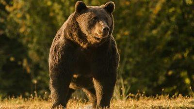 Acusan a un príncipe de Liechtestein de matar al oso más grande de Rumania y probablemente de la UE