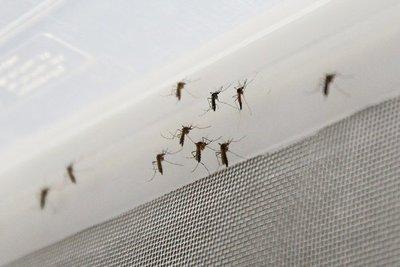 Modificación genética de mosquitos podría ser clave para prevenir la transmisión de enfermedades