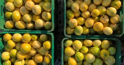 La Nación / Unos 18.000 kilos de mburucuyá producidos en Caazapá fueron comercializados