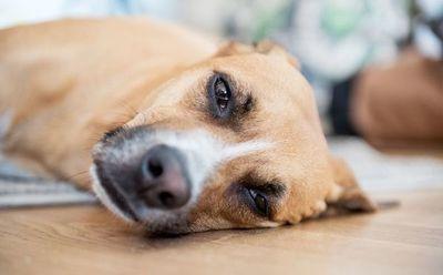 Los perros también pueden sufrir alergia