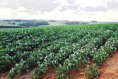 Ejecutivo declara al 2021 como año de la soja y reconoce su aporte a la agricultura – Diario TNPRESS