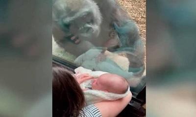 ¡Awww! La reacción de una mamá gorila cuando ve a un bebé recién nacido