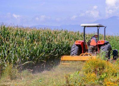 México estima un aumento del 2,6 % en la producción de maíz grano en 2021
