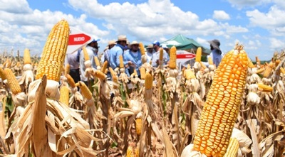 Agricultores temen que las heladas destruyan los cultivos de maíz zafriña