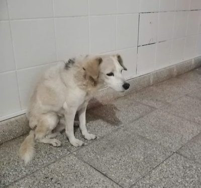 Amores perros: perrita esperó 2 meses en puerta de hospital a su dueña internada por Covid