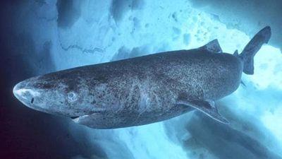 Captan la velocidad de nado del tiburón dormilón del Pacífico