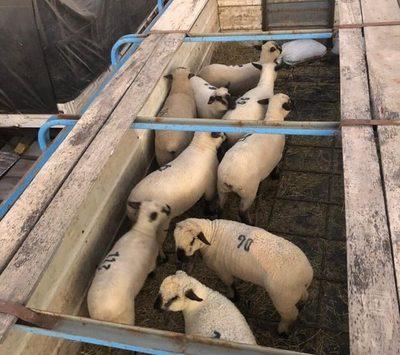 Criadores realizan nueva importación de ovinos de alto valor genético de Argentina