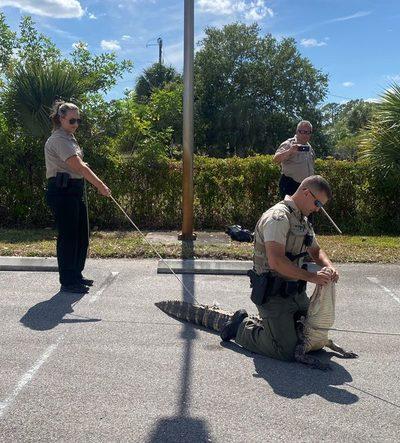 ¿Tendría hambre? Atrapan en Florida a caimán que perseguía a clientes afuera de un restaurante