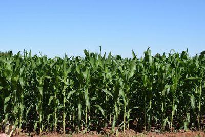 Recomendaciones para el manejo del maíz en la post siembra