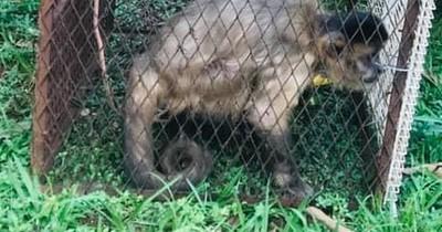 La Nación / Capturan a un mono que hurtaba lencerías en Pedro Juan Caballero
