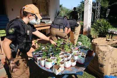 SENAD descubre granjas de marihuana donde producían aceite de cannabis de manera ilegal