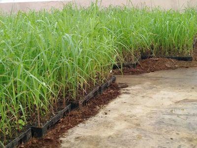 Producción de material de propagación vegetativa de caña de azúcar de alta calidad