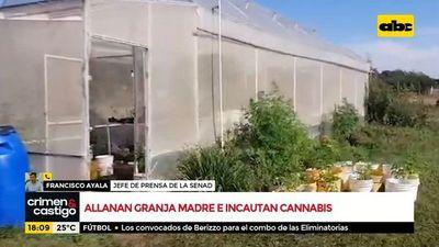 Allanan e incautan marihuana en granja madre