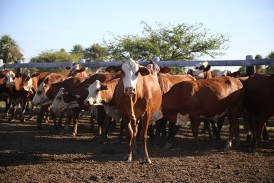 Precio del ganado gordo con disparidad entre plantas pero con tendencia a la baja