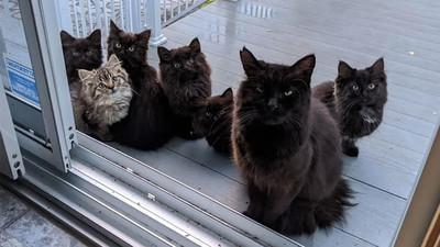 ¿Vacunarás a tu gato? Conocé los posibles efectos secundarios que puede padecer