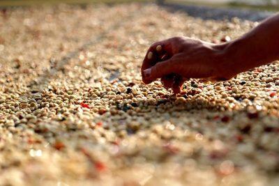 La cosecha brasileña de café caerá un 22,6 % este año tras el récord de 2020