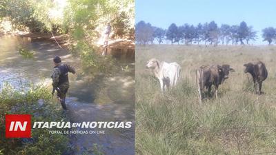 RECUPERARON VARIOS ANIMALES VACUNOS HURTADOS EN ITAPÚA POTY.