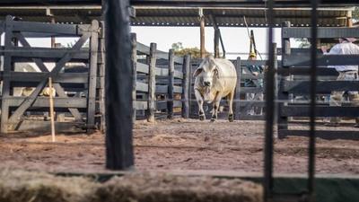 EN VIVO – Juzgamiento de animales Brahman a Campo