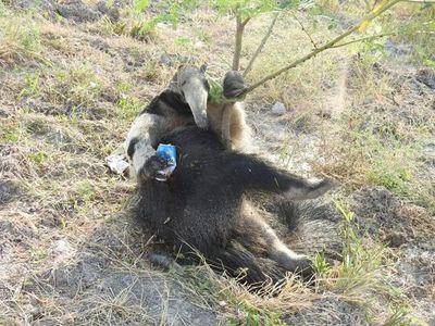 Fauna del Chaco está amenazada por atropellamientos