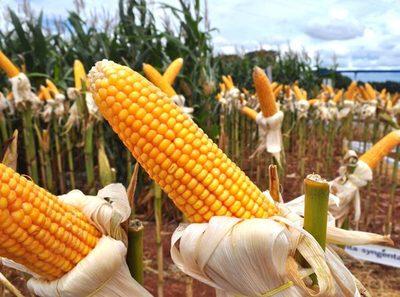 Rendimiento total del maíz estará muy por debajo de lo esperado debido a la sequía