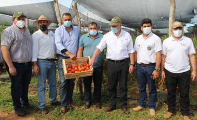 Arrancó temporada de cosecha de tomates