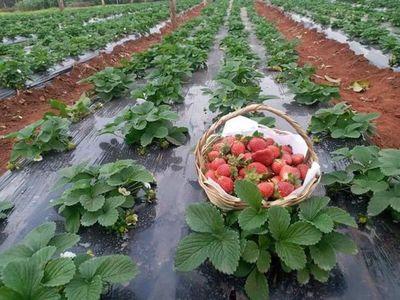Habrá superproducción de frutilla y precios más bajos