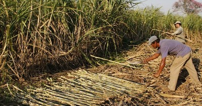 La Nación / Prevén producir 27 millones de litros de alcohol en la zafra de caña de azúcar 2021