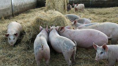 Visiones divergentes sobre impacto de segunda ola de fiebre porcina en China