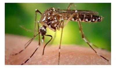 El mosquito se encuentra en criaderos de casas habitadas
