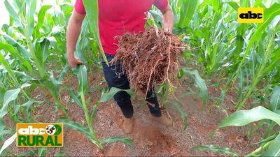 Abc Rural: Pasto Brachiaria Ruziziensis con maíz para mejoramiento de suelo