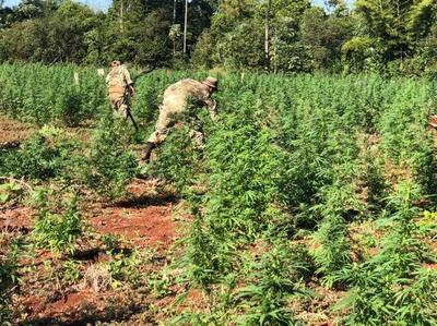 Paraguay mueve 900 millones de dólares al año en marihuana