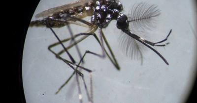 La Nación / La bacteria Wolbachia contiene al dengue en Indonesia