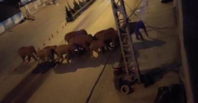 La tierna imagen captada por un dron de la manada de elefantes que lleva semanas migrando en China