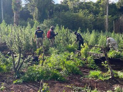 Detectan y anulan más de 6 toneladas de droga en establecimiento rural de Alto Paraná