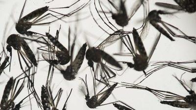 Mosquitos infectados con una bacteria reducen en un 77% los casos de dengue en una ciudad indonesia