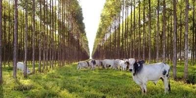 Sustentabilidad: destacan los logros de un sistema agrosilvopastoril en Brasil