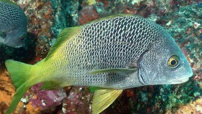 Descubren dos nuevas especies de peces en Galápagos y Pacífico Este Tropical