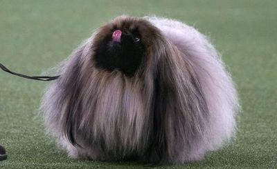 Un pequinés llamado Wasabi gana el famoso concurso canino de Nueva York