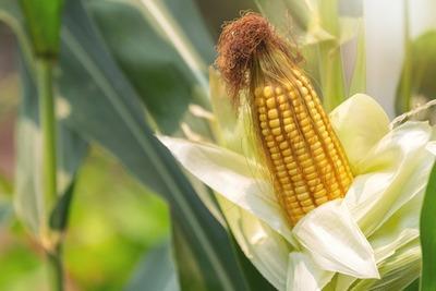 Lluvias aumentan humedad en los suelos y benefician los cultivos de maíz y trigo