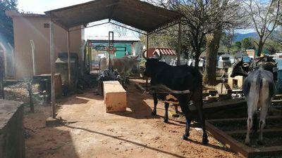 Vacas invaden el abandonado cementerio del distrito de Eugenio A. Garay