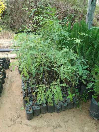 Plantarán árboles de especies nativas en el Lote 1 del tramo Pozo Colorado – Concepción
