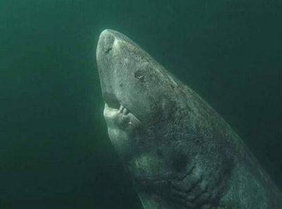 Tiburón nacido en 1505 es el animal más viejo del mundo